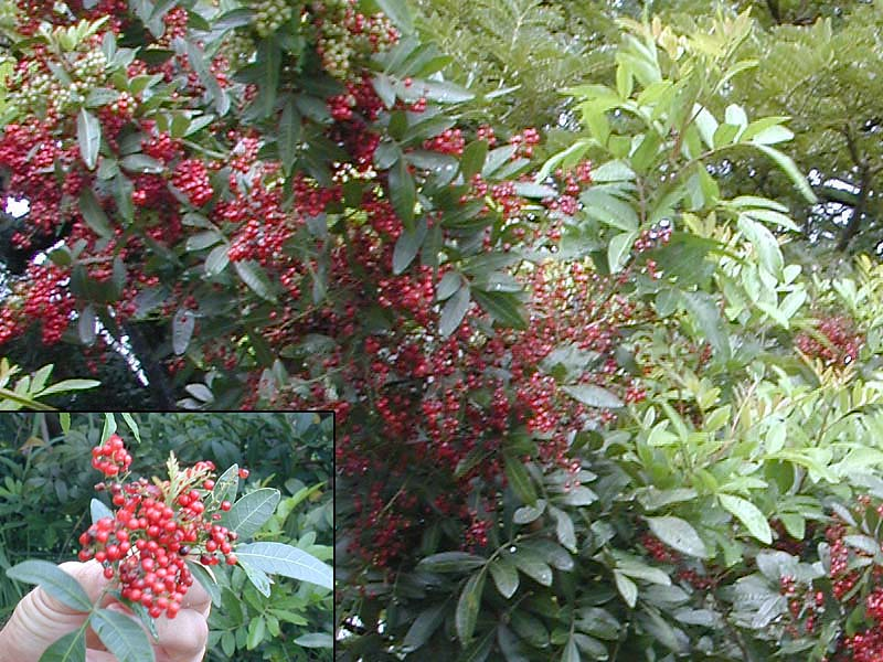 Brazilian Pepper Tree http://www.5thworld.net/nov99/HTML/OSPlants.htm